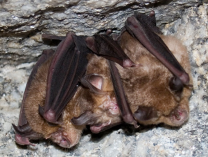 murciélago de herradura R. ferrumequinum